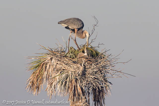 Great Blue Heron with Chick at Nest