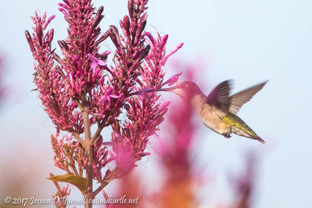 Female Ruby-throated Hummingbird nectaring on Purple Firespike