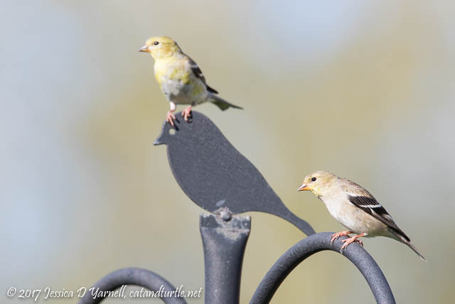 American Goldfinches on Finial