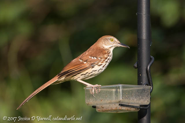 Brown Thrasher at Mealworm Feeder