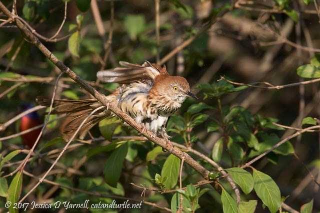 Brown Thrasher Photobombed by Bunting