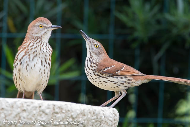Brown Thrashers at Birdbath