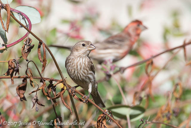 House Finch Couple