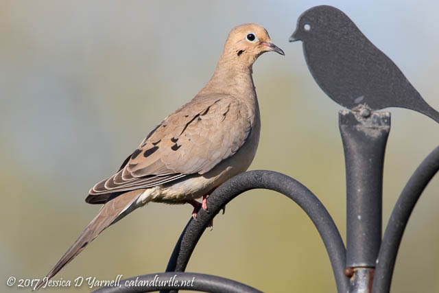 Mourning Dove next to Finial
