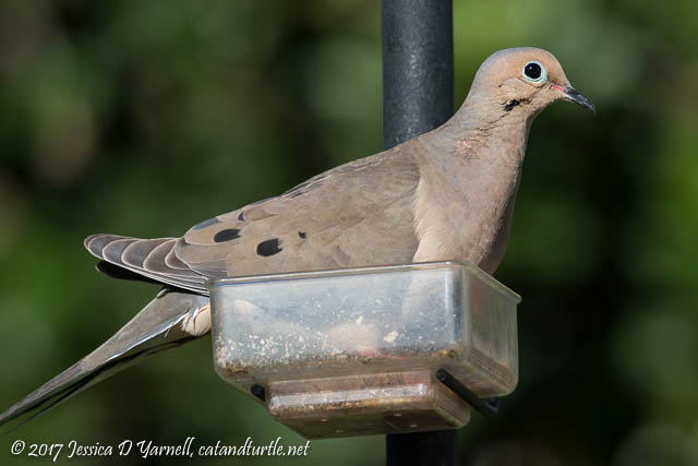 Mourning Dove in Mealworm Feeder