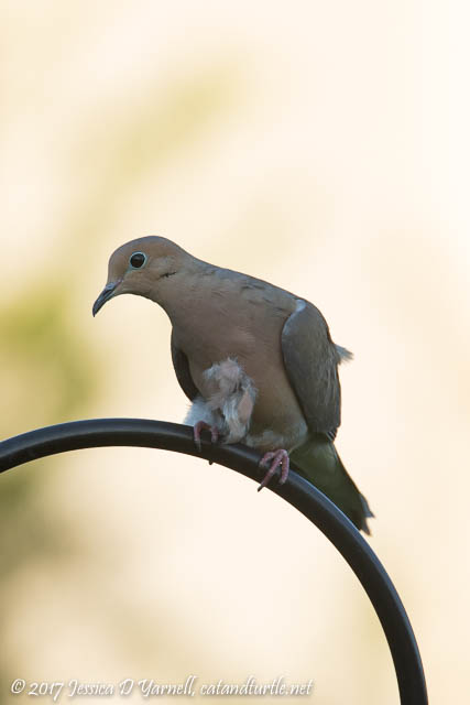 Mourning Dove after Fight