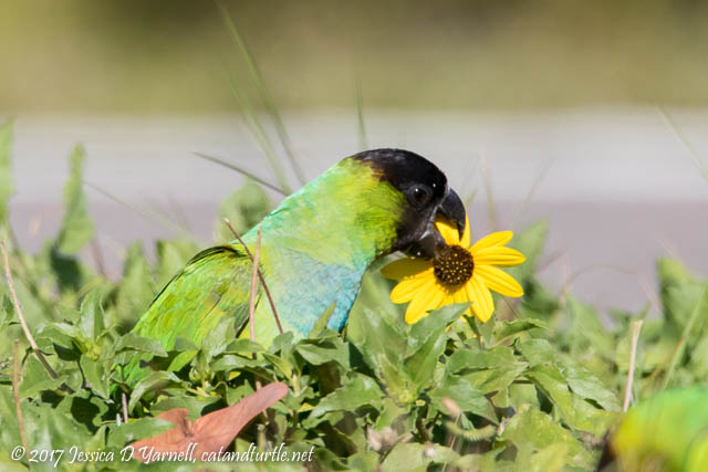 Nanday Parakeet eating Beach Sunflower