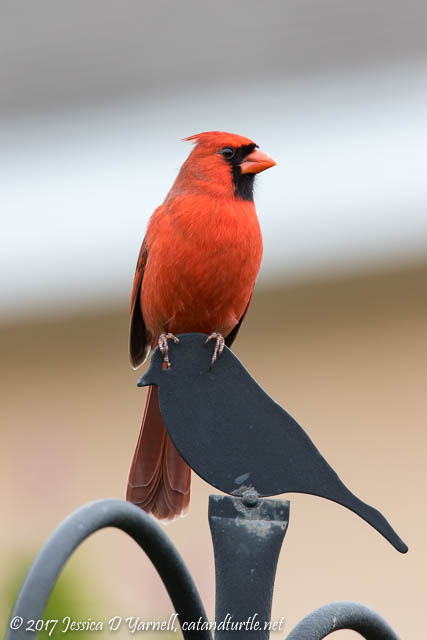Northern Cardinal on Finial