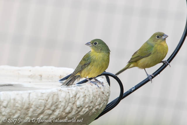 "Painted Buntings ""Greenies"" at Birdbath"
