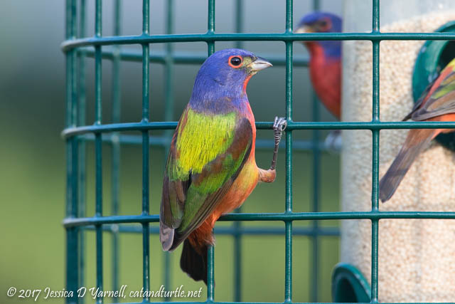 Painted Buntings on Cage