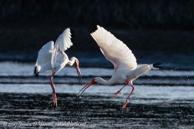White Ibis Courtship