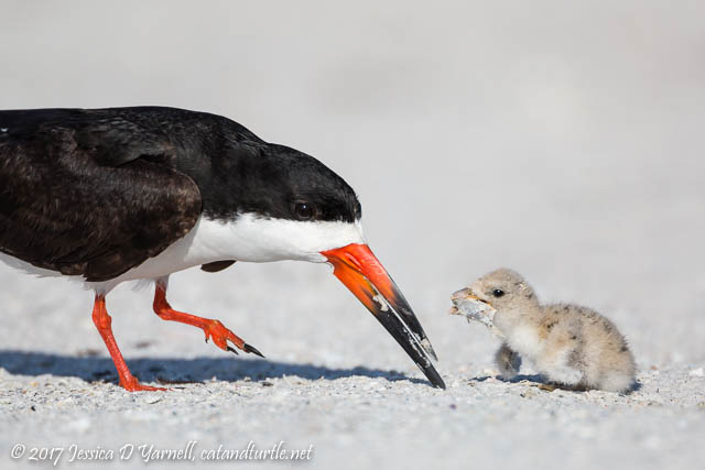 Black Skimmer Mother & Baby