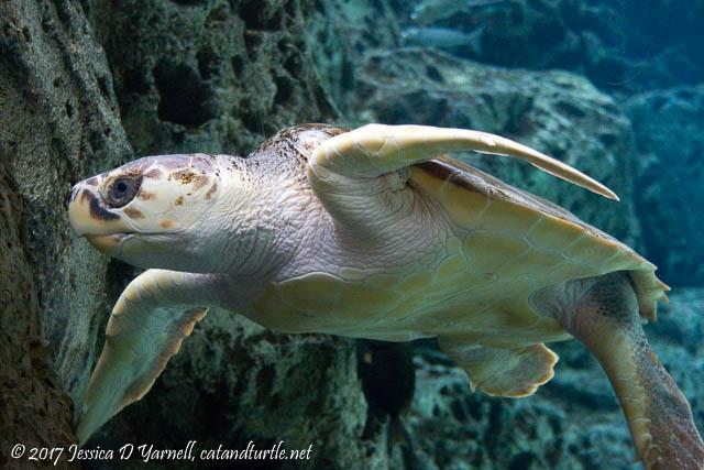 Loggerhead Sea Turtle - World Turtle Day 2017