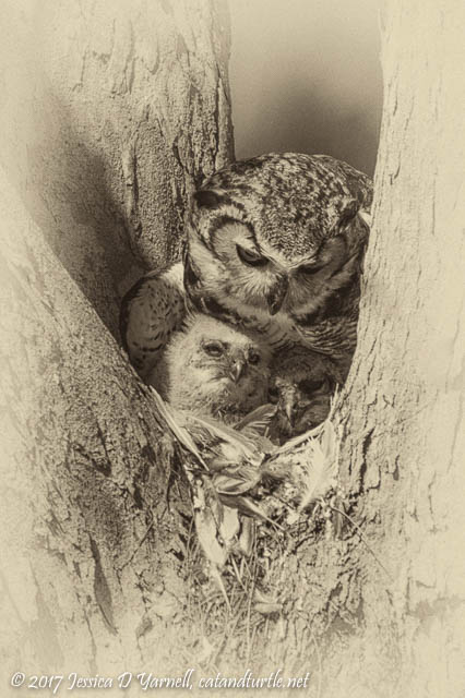 Great Horned Owl Mother & Babies