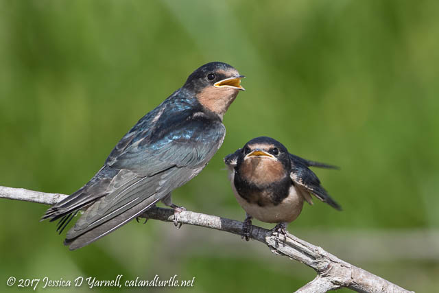 Baby Barn Swallows - Competing for Mom's Attention