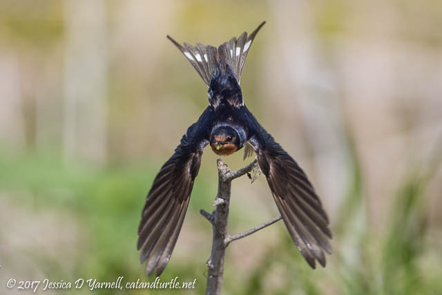 Barn Swallow Mom