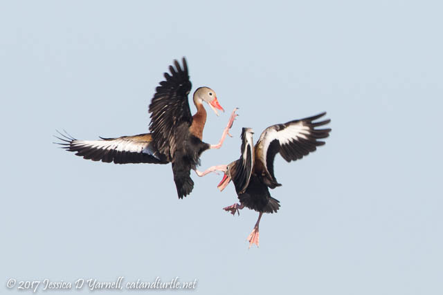 Black-bellied Whistling Duck Mid-Air Battle