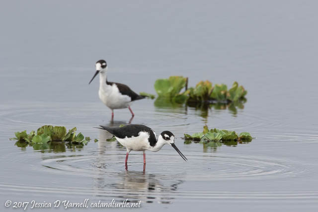 Black-necked Stilt Pair. Photographed on Interceptor Road.