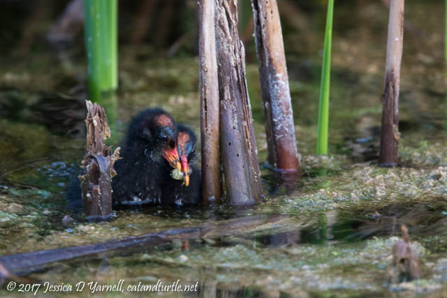 Common Gallinule Babies Fighting Over Breakfast
