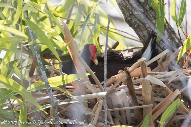 Common Gallinule on Nest