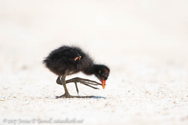 Common Gallinule Baby - Such Big Feet!