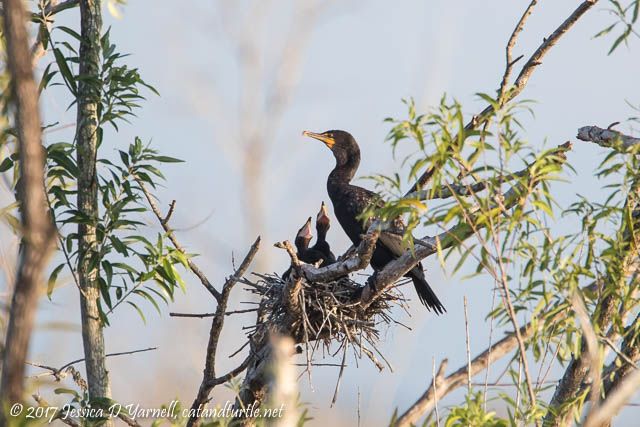 Double-crested Cormorants at Nest
