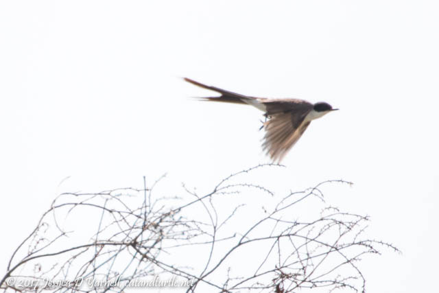 Fork-tailed Flycatcher in Flight - Watch Out, Bugs!