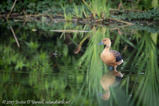 Fulvous Whistling-Duck. Photographed on Laughlin Road.