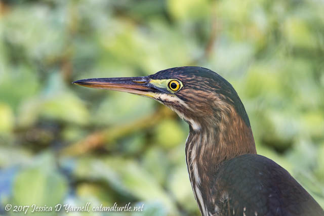 Green Heron. Photographed at Interceptor Road.