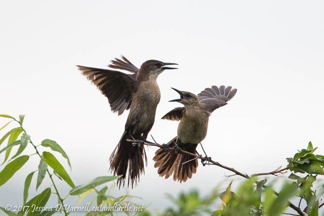 Juvenile Grackles Begging for Breakfast