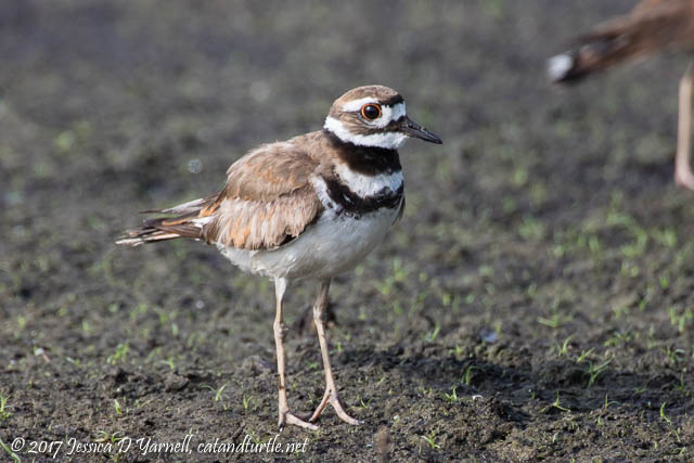 Killdeer. Photographed at Laughlin Road.