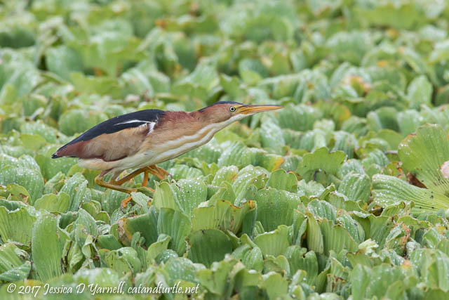 Least Bittern #5 - In Stalking Mode