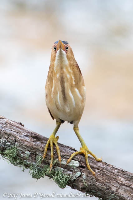 One More Least Bittern!  Such a Stare!