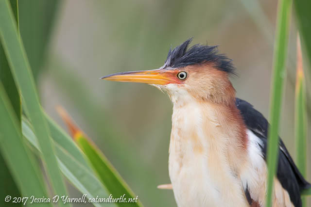 Least Bittern Head Shot. Photographed along Roach Road.