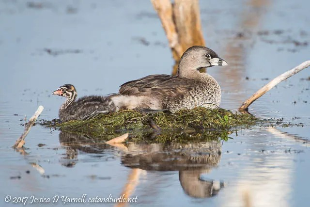 Pied-billed Grebe Mom and Baby