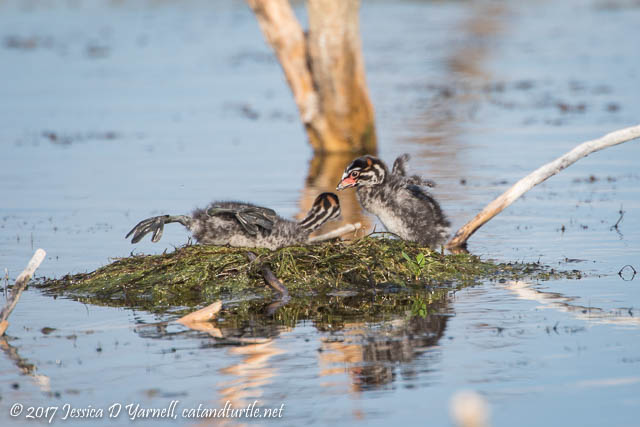 Pied-billed Grebe Babies on Nest