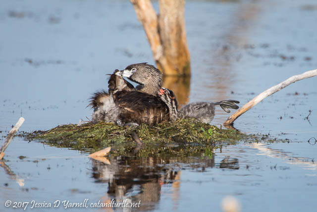 Pied-billed Grebe Mother and Baby Preening Together