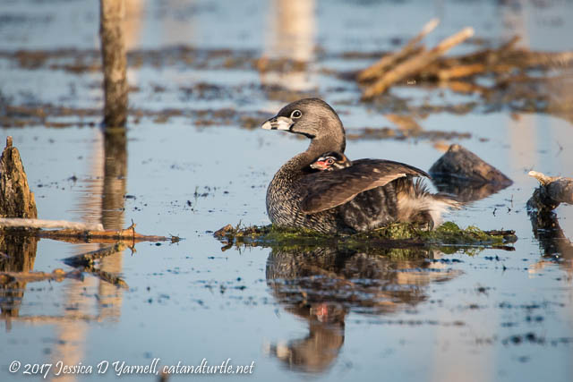 Pied-billed Grebe with Baby