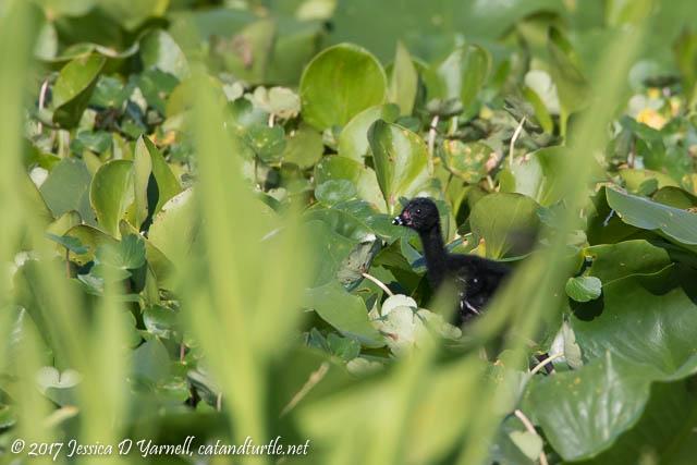 Purple Gallinule Chick