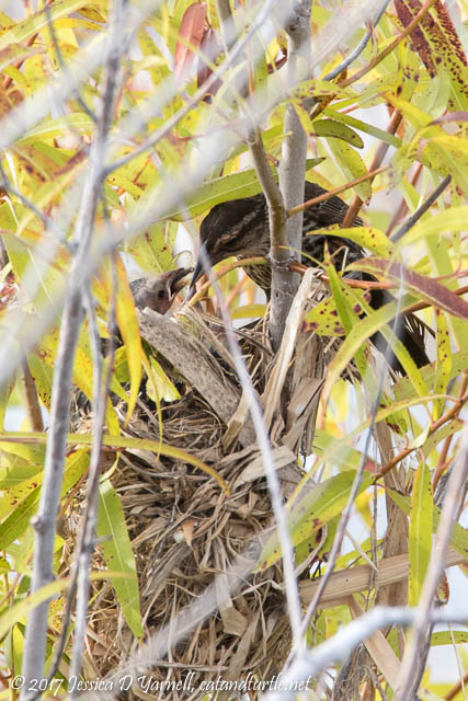 Red-winged Blackbird Feeding Baby at Nest - Dragonfly for Breakfast!