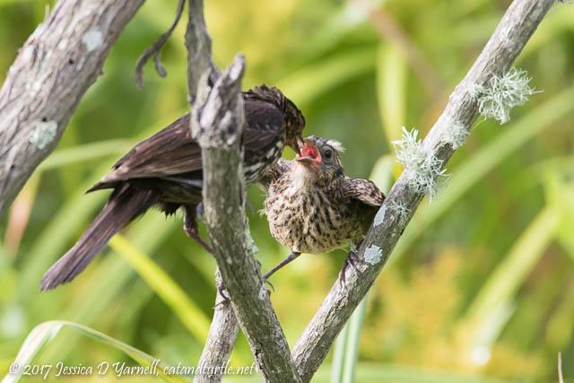 Red-winged Blackbird Feeding Fledgling