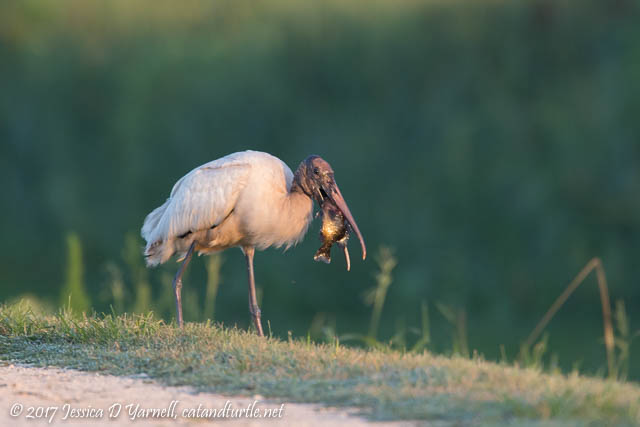 Wood Stork with Fish