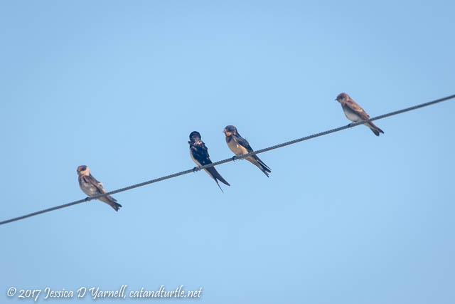 Cave Swallow, Barn Swallows, Northern Rough-winged Swallow