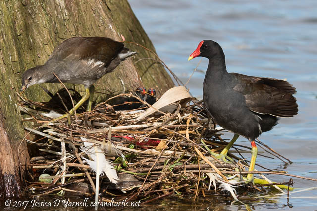 Common Gallinule Nest