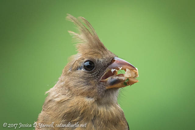 Juvenile Cardinal Head Shot