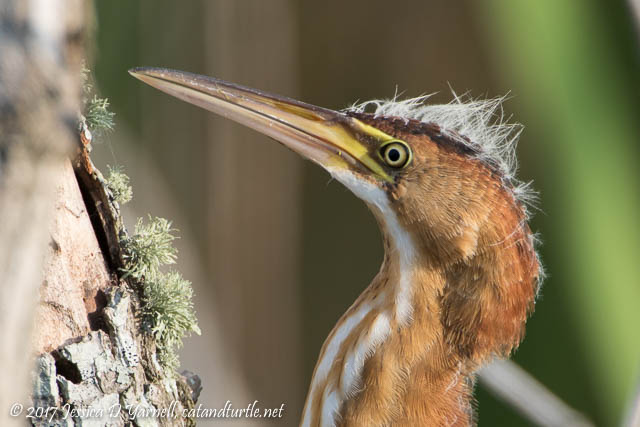 Juvenile Least Bittern Head Shot