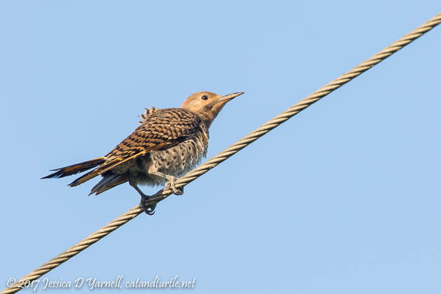 Juvenile Northern Flicker
