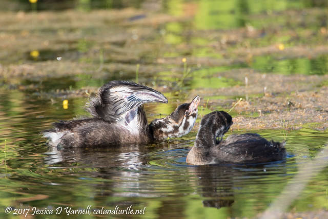 Juvenile Pied-billed Grebes