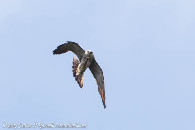 Mississippi Kite Grabs the Bug with his Talons