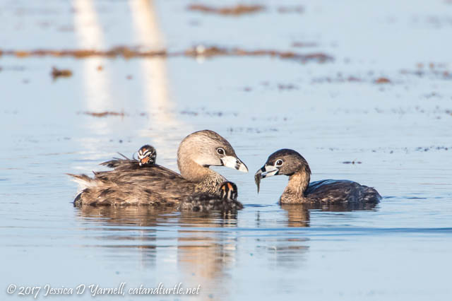 Pied-billed Grebe Dad Bringing in Breakfast to his Family